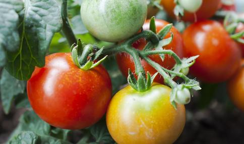 【ミニトマトの育て方】カラフルトマトどのくらい知ってますか?夏の定番!ミニトマトをプランターで育ててよう!