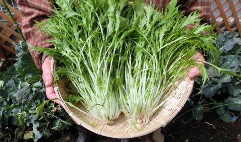 【簡単レシピ付き!】手軽にベランダ菜園!シャキシャキの水菜をプランターで栽培しよう!
