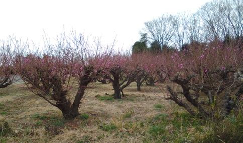 農園のまわりには美しい梅林が広がっています