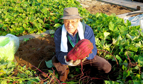 大きなお芋!このような野菜がたくさん取れます