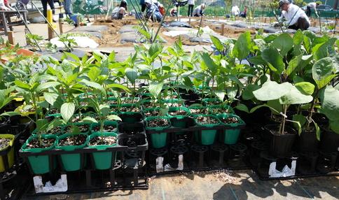 これから植える苗 大きく育つのが楽しみですね