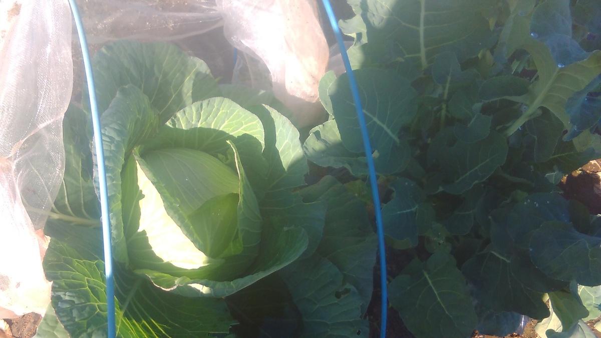 こんなに大きなキャベツを収穫できます!