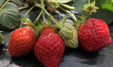 春には甘いイチゴが収穫出来ます!