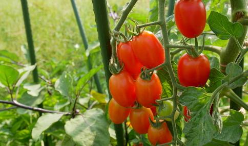 ミニトマト、たくさん収穫できました!