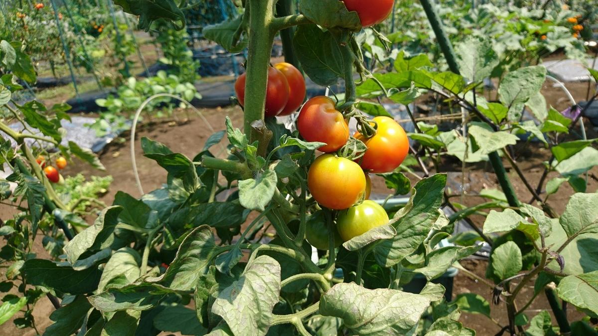 プチトマトも大きく育ちました!