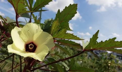 オクラの花がきれいですね!