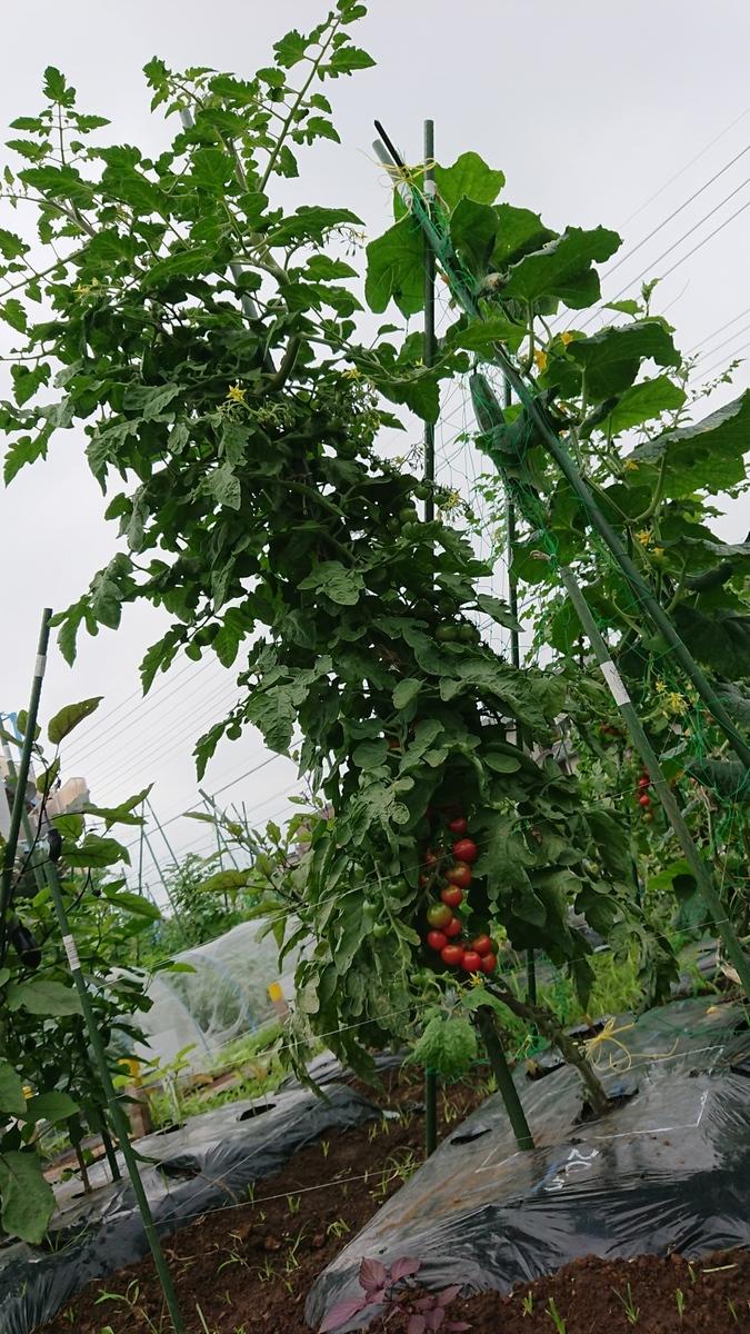 ミニトマトがぐんぐん育ってます