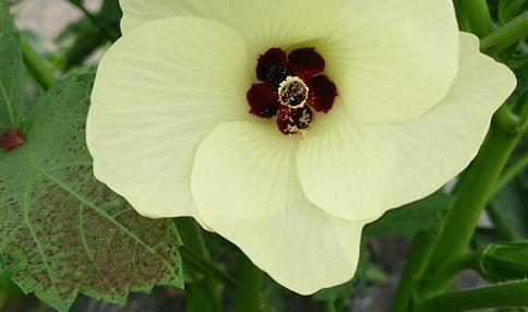 オクラの花ってきれいですね!