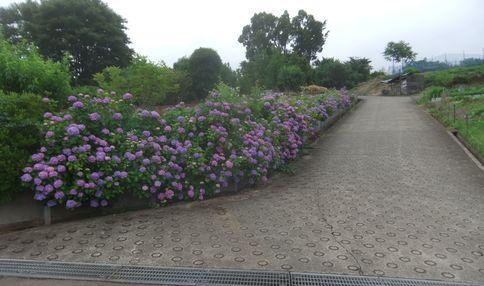 紫陽花が満開です!