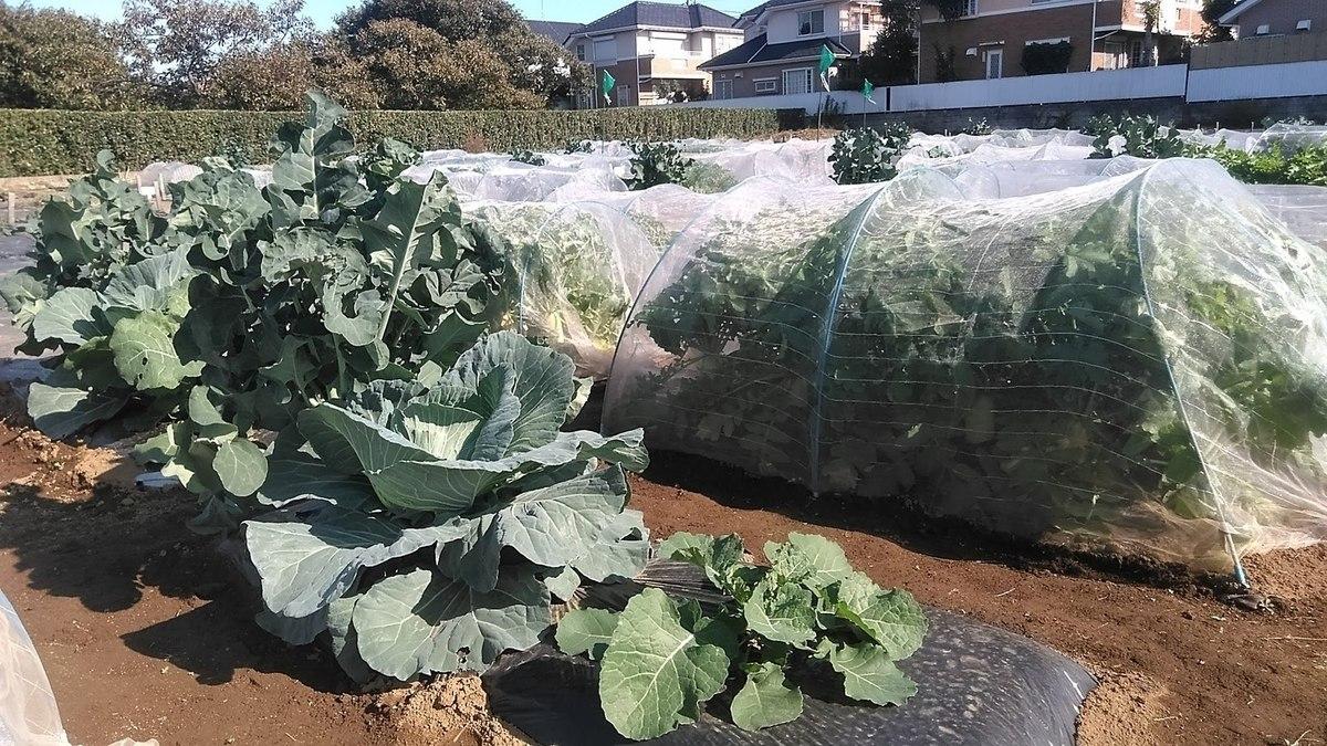 冬野菜茎ブロッコリーとキャベツ!