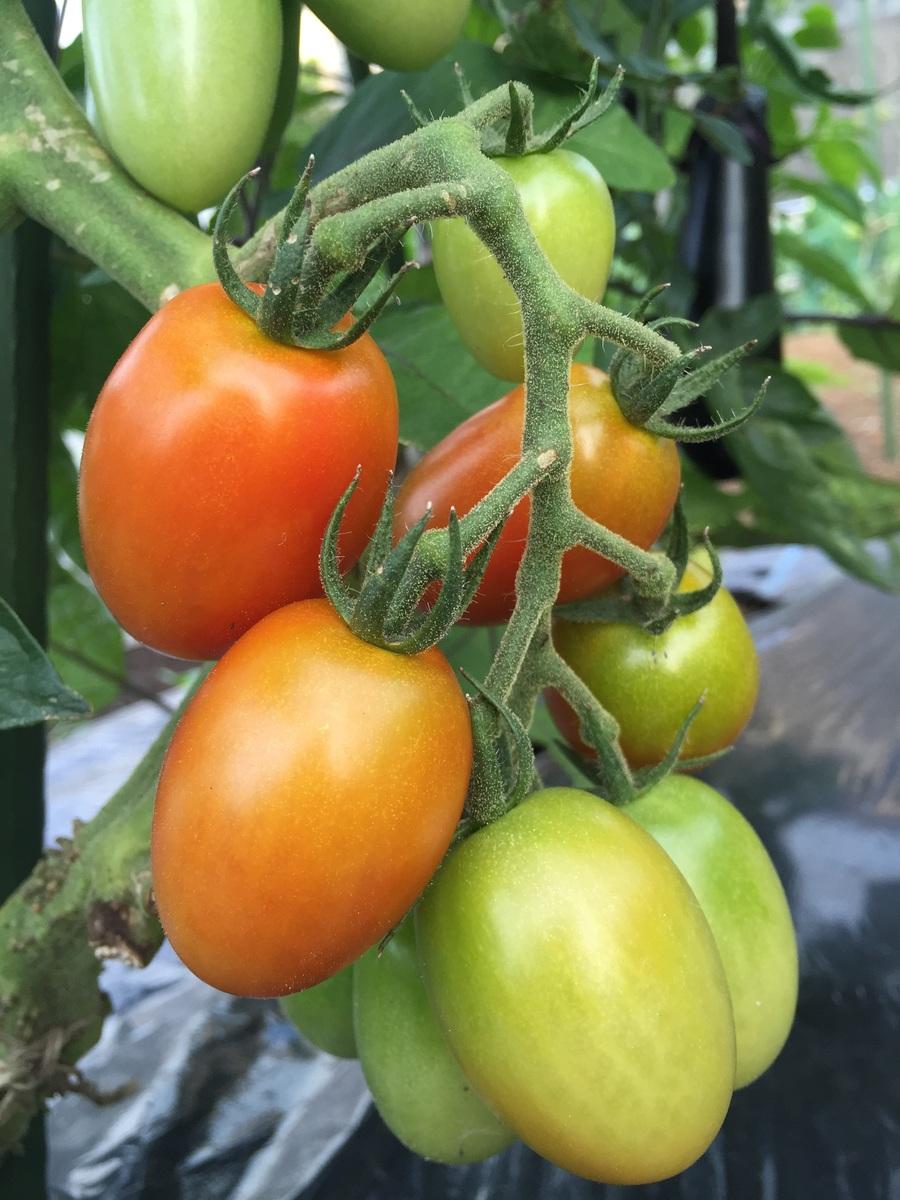 トマトもうすぐ収穫できそうです