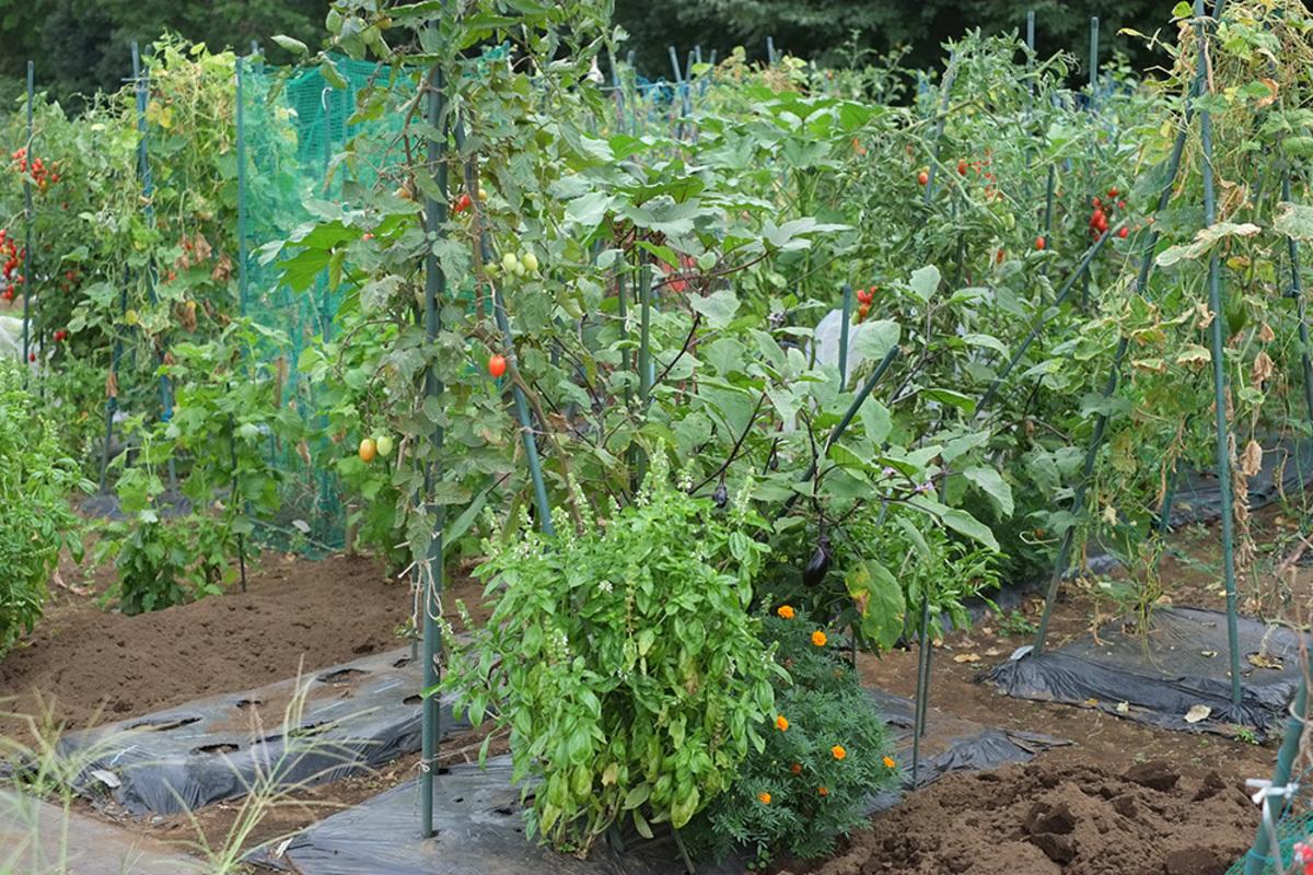 山ほどのトマトを収穫できます!