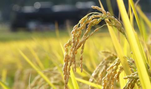 【稲刈りイベント】秋を堪能しませんか?