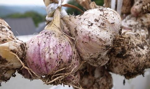 ベランダ菜園でもできる!家庭菜園でニンニクを育てる方法